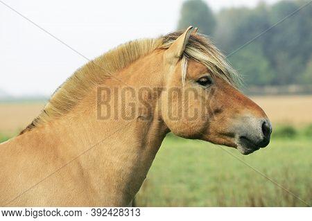 Norwegian Fjord Horse, Portrait Of Stallion Norwegian Fjord Horse, Portrait Of Stallion