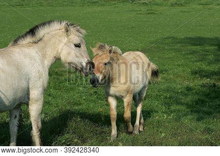 Norwegian Fjord Horse, Mare With Foal Norwegian Fjord Horse, Mare With Foal