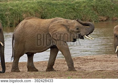 African Elephant Loxodonta Africana, Mother With Young Crossing River, Masai Mara Park In Kenya