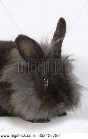 Black Dwarf Rabbit Against White Background Black Dwarf Rabbit Against White Background