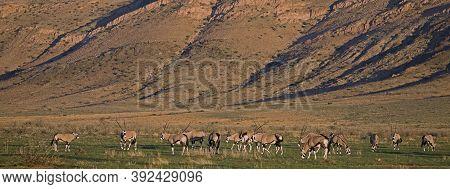 Gemsbok Oryx Gazella, Herd Feeding, Namibia Gemsbok Oryx Gazella, Herd Feeding, Namibia