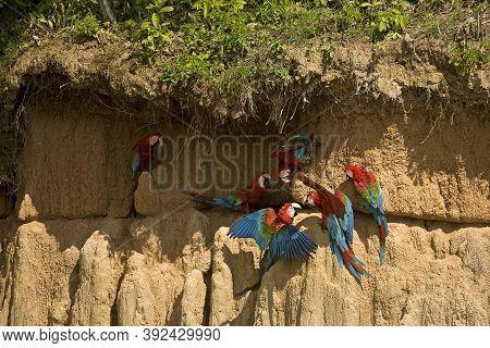 Red-and-green Macaw Ara Chloroptera, Group Eating Clay, Cliff At Manu National Park, Perou