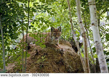Siberian Lynx Lynx Lynx Wrangeli, Adult Laying Down