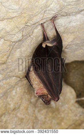 Greater Horseshoe Bat Rhinolophus Ferrumequinum, Close-up Of Head, Adult Hibernating In A Cave, Norm