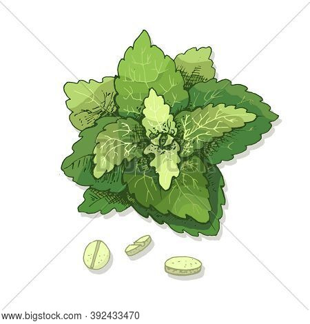 Stevia Leaves And Tablet. Vector Color Vintage Hatching Illustration Isolated On A White Background.