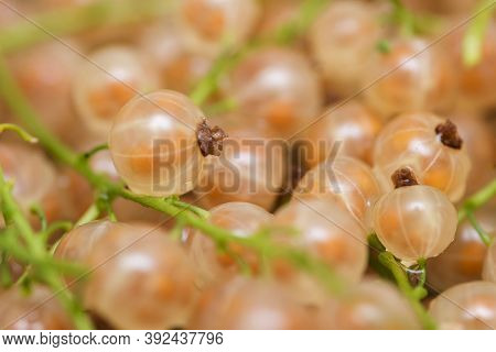 Currant Yellow . Berries Background. Fresh Organic Currant From Village Garden. Yellow Fresh Currant