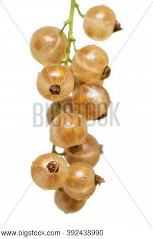 Yellow Currants Isolated On The White Background. Fresh Organic Currant From Village Garden. Yellow