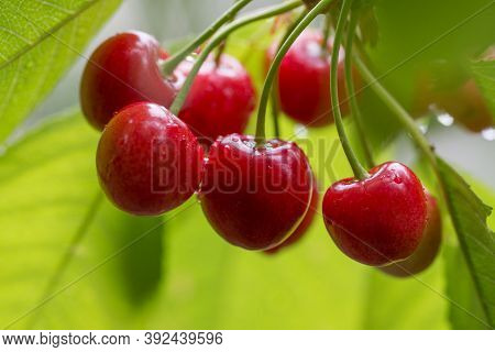 Juicy Red Cherries On Cherry Tree. Cherries Hanging On A Cherry Tree Branch