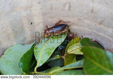 Closeup Cricket In A Naturally Cultured Farm At Thailand,  Cricket Farming Of Thai Farmers.
