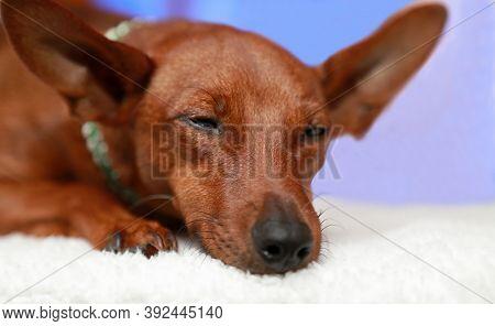 Portrait Of A Slumbering Dog On A White Blanket.