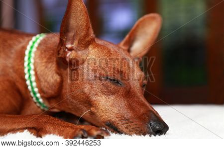 Portrait Of A Slumbering Dog . Cute Muzzle With Closed Eyes In A Brown Dog.