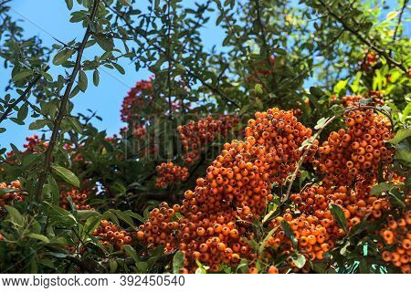 Beautiful Orange Ripe Hawthorn Berries (pyracantha Angustifolia) On Tree With Green Leaves. Absolute