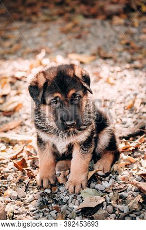 Charming Little Thoroughbred Dog, Kennel Of High-bred German Shepherds. Cute Black And Red German Sh