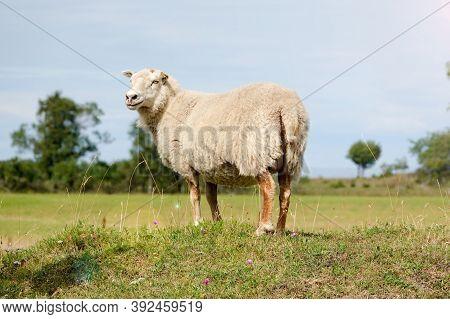 Smiling Sheep Standing At Sunlight. Summertime In Farmland. Wild Animals - Sheep Portrait. Farmland