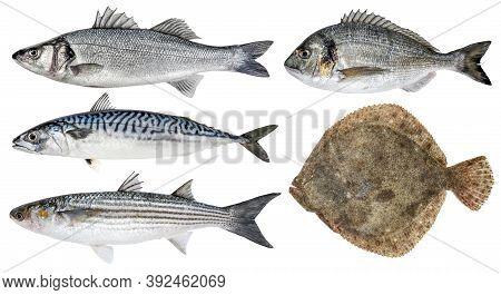 Fresh Sea Fish. Isolated Set On A White Background. Sea Bass, Dorado, Mackerel, Mullet, Turbot