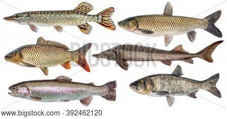 Freshwater River Fish Set Isolated. Fresh Live Fish. Pike, Sturgeon, Carp, Trout, Grass Carp, Silver