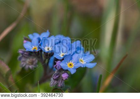 Field Forget Me Nots (myosotis Arvensis).