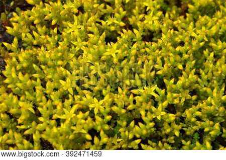 The Part Of The Wild Consists Of Small Wildflowers Sedum.
