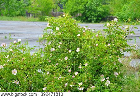 Rosehip Bush During Flowering Against The Background Of An Asphalt Site.