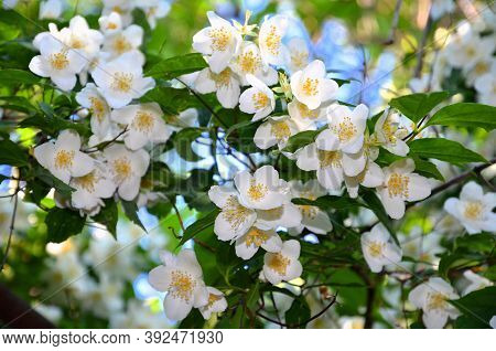 Small White And Fragrant Flowers On A Jasmine Bush.