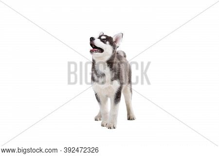 Funny Black-white Wool Puppy Purebred Husky Female Puppy On White Isolated Background In Studio. Smi