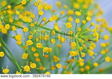 Macro Of Dill Flower Anther With A Soft Focus Background