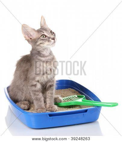 Small gray kitten in blue plastic litter cat isolated on white