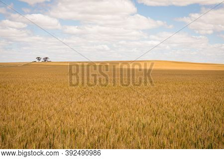 Acres Of Wheat On A Cloudy Spring Day Near Wagin, Western Australia
