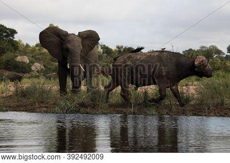 The African Buffalo Or Cape Buffalo (syncerus Caffer) ,young Elephant Attack Buffalo At The Waterhol