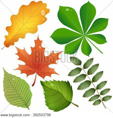 Color Images Of Leaves Of Trees On White Background. Leaf Of Oak, Birch, Maple, Chestnut, Rowan And