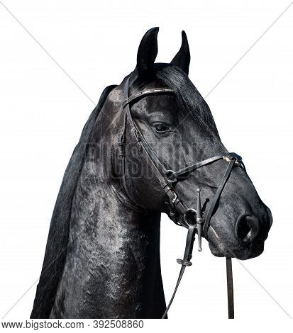 Closeup Portrait Of Beautiful Friesian Black Stallion Horse Head With Leather Bridle Harness Isolate