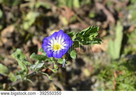 Dwarf Morning Glory Blue Ensign - Latin Name - Convolvulus Tricolor Blue Ensign