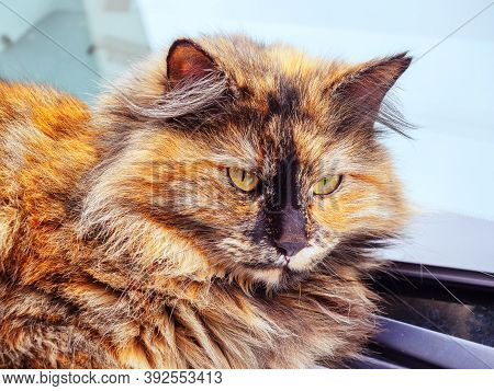 Portrait Of A Motley Red-haired Black Fluffy Cat