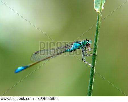 dragonfly outdoor in summer (enallagma cyathigerum)