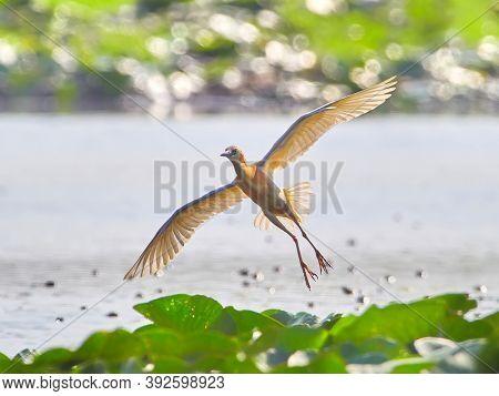 golden heron in natural habitat (ardeola ralloides)