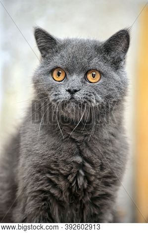 Old Gray British Cat With Orange Eyes
