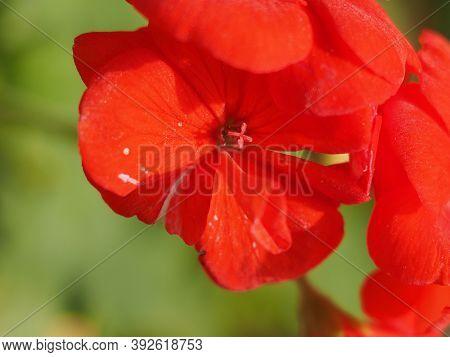 Geranium Plant (geraniales) Red Flower