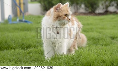 A Persian Cat Is Walking On The Grass In The Front Yard And Looking
