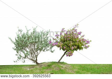 Bougainvilleas And Green Tree Isolated On White Background.