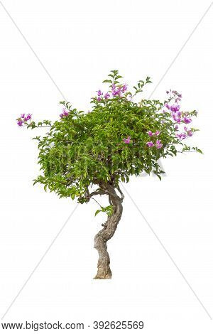 The Bougainvilleas Tree Isolated On White Background.