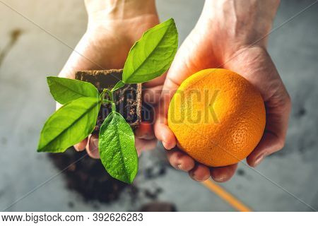 Woman Holds An Orange Tree Sapling In One Hand And An Orange Fruit In The Other. Agricultural Cultiv
