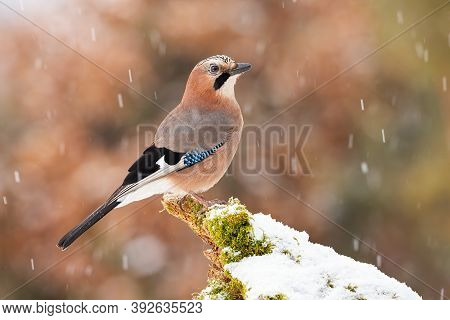 Eurasian Jay Sitting On Bough In Winter Nature During Snowfall.