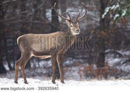 Red Deer Standing In White Forest In Winter Nature.