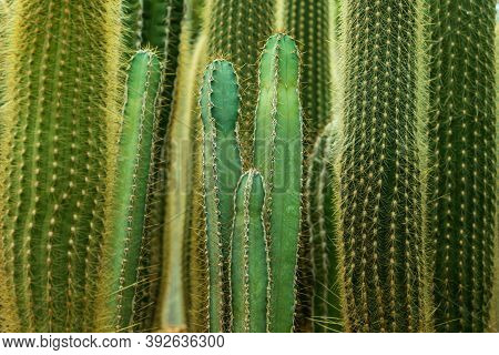 Green Cactus Trees Texture For Pattern Background.