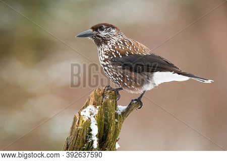 Spotted Nutcracker Resting On Bough In Winter Nature