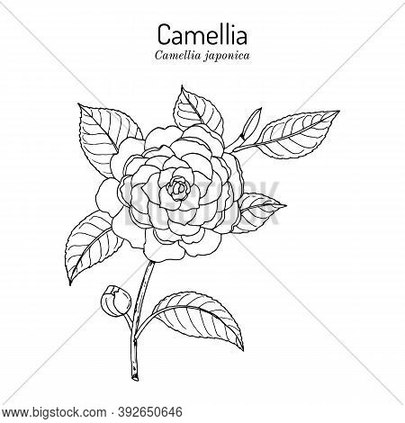 Japanese Camellia, Or Tsubaki Camellia Japonica , Ornamental Plant. Hand Drawn Botanical Vector Illu