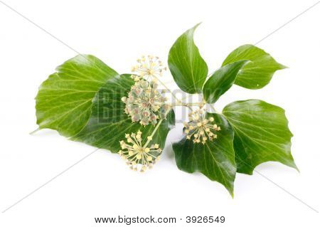 Ivy And Flowers