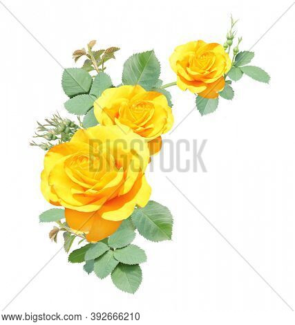 Angle border with branch of rose with yellow flowers. Angle frame with branches of Climbing Rose. Isolated on white background