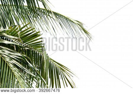 Coconut Leaves With Branches On White Isolated Background For Green Foliage Backdrop