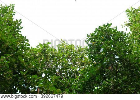 Tropical Tree With Leaves Branches On White Isolated Background For Green Foliage Backdrop